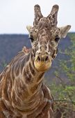 Head And Neck Of Giraffe Looking Directly At Camera