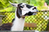 pic of lame  - A portrait of white and black lama - JPG