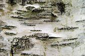 Poplar Texture