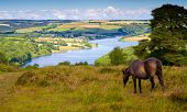 Exmoor pony Wimbleball Lake Exmoor National Park Somerset