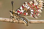 Spanish festoon butterfly (Zerynthia rumina)