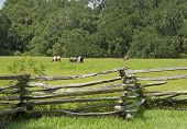 picture of split rail fence  - A split rail fence and spanish moss covered oaks surround horses in a grassy meadow - JPG