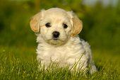 Bichon Havanais Puppy Dog