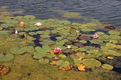 Water Lilies And Duckweed