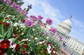Washington DC, tulips in front of the Capitol building in spring