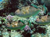 Parrot Fish Reef