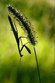 Shadow  Side  Praying Mantis