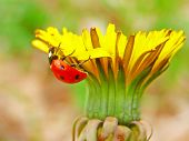 The ladybug on a yellow dandelion