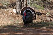 Male Turkey (meleagris Gallopavo) Pikes Peak Region Colorado Springs, Colorado