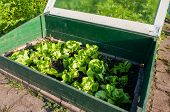 image of greenhouse  - homegrown fresh salad lettuce in a small greenhouse - JPG