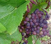 Grape and leave - pinot noir