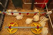 stock photo of hen house  - White chickens in hen house at modern farm - JPG