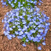 image of lobelia  - A perfectly formed mound of compact lobelia in the home garden - JPG