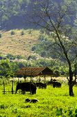 Elephant Grazing Grounds Chiangmai Thailand 2
