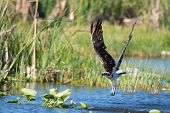 picture of osprey  - Osprey emerging from the water (Pandion haliaetus ) - JPG