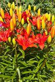 Red-orange lily flower bunch close-up in garden