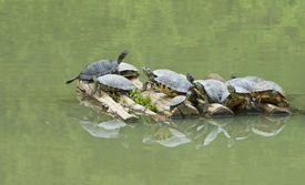 stock photo of cooter  - Turtles  - JPG