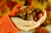 stock photo of acorn  - Man hands with acorns - JPG