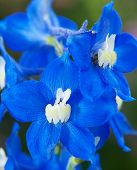 Delphinium Or Larkspur Flower