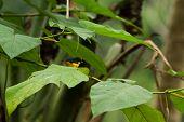 Yellow - Thoated Euphonia
