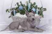 Thai Ridgeback Puppy With Christmas Basket