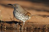 Long-billed Thrasher- Texas