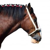 Clydesdale Profile