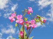 Himalayan Balsam (impatiens Glandulifera)
