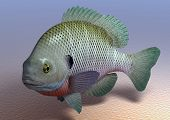 stock photo of bluegill  - Bluegill sea fish on a background of the sandy bottom - JPG