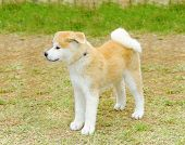 foto of akita-inu  - A profile view of a young beautiful white and red Akita Inu puppy dog standing on the lawn. Japanese Akita dogs are distinctive for their oriental look and for being courageous.
