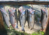 stock photo of chums  - Alaskan silver salmon catch during fishing season - JPG