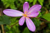 Mountain flower with nickname Phoenix at mountain Bobija