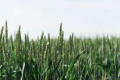 Ripe Wheat In A Farmers Field