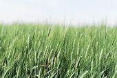 Hazy Wheat Field