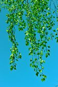 pic of bine  - Birch branches with young leaves against the blue sky - JPG