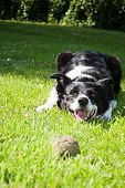 playful border collie with ball