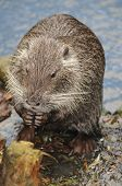 pic of beaver  - This european beaver - JPG