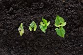 stock photo of germination  - top view of bean seed germination in soil - JPG
