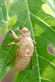 Insect Cicada In Moult.
