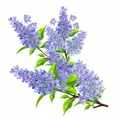 stock photo of lilac bush  - Branch of lilac with leaves isolated - JPG