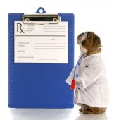 image of prescription pad  - english bulldog dressed up as a doctor or veterinarian with prescription pad - JPG