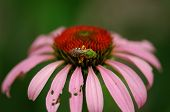 Vibrant Green Bug On A Pink Daisy