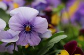 Fresh blooming Pansies in the garden
