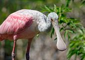 Roseate Spoonbill Looks Your Way