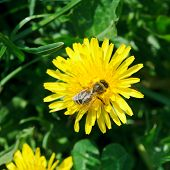 Bee Collecting Nectar From Dandelion Flower