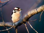 Downy Woodpecker Male On Limb