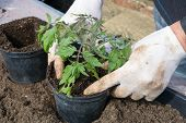 Planting Tomato Plant