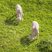 Couple Of Lambs Grazing