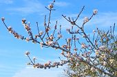 branch of almond tree in blossom on blue sky background