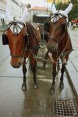 Vienna's horses